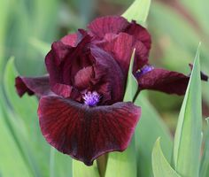 "(H. Stout 2016) SDB iris, 11.5"", M. Flowers: S. and style arms dark red violet; F. deep, dark black cherry, darker in center with black veining. Beards are bright violet purple, bronze tips. Sdlg. TA4"