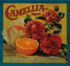 Camellia Orange Label – Redlands, CA