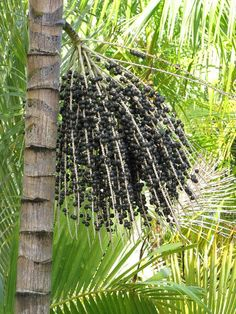 Apart from the use of its fruit as food or beverage, the açaí palm has other commercial uses. Leaves may be made into hats, mats, baskets, brooms and roof thatch for homes, and trunk wood, resistant to pests, for building construction. Tree trunks may be processed to yield minerals.