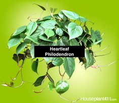 Heartleaf Philodendron - How to Grow Care - Sweetheart Philodendron Low Light Plants, Sun Plants, Fruit Plants, Rare Plants, Indoor Plants, House Plants, Indoor Herbs, Growing Plants Indoors, Herbs Indoors