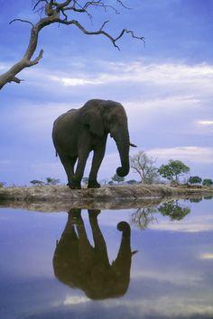 African elephant at waterhole, Chobe National Park, Botswana