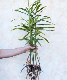 Inkiväärin kasvatus on helppoa kaupasta ostetulla inkiväärillä. Kastelu, istutus ja sadonkorjuu – tässä hortonomin vinkit onnistuneeseen inkiväärisatoon! Growing Vegetables, Fungi, Houseplants, Plant Hanger, Flora, Home And Garden, Herbs, Diy, Decor