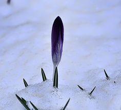 Crocus In Snow Leif Sohlman