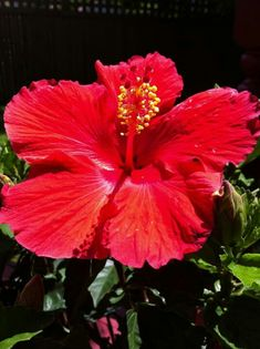 A Hibiscus flower to brighten up your day!