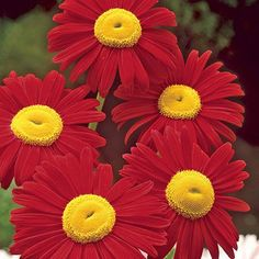 Red Painted Daisy