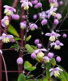 Thalictrum delavayi - China-Wiesenraute Riesenstaude bis 1,80m, Sichtschutz Auch sonnig-trocken Heimische Wiesenrauten feucht-halbschattig