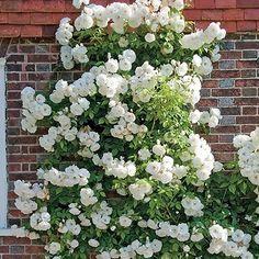 Thornless Climbing White Rose