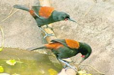 New Zealand saddlebacks, Aka tieke, highly endangered. You can see where they get their name. Sea Birds, Love Birds, Beautiful Birds, Extinct Birds, Little Birds, Colorful Birds, Natural World, Mother Earth, Dinosaurs