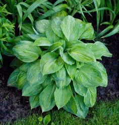 'Julie Morss' hosta