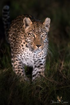 Stalker - A Leopardess patrols her territory during the early hours of the evening after leaving her small cubs at a safe den site. Machaba Camp, Khwai Concession, Botswana