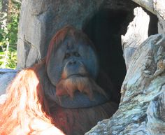 Daddy Orangutan @ the San Diego Zoo.