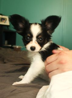 My new papillon puppy, Amelia :) <333