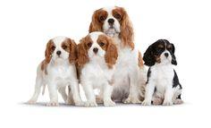#Cavalier_King_Charles_Spaniel #Cav #Cavalier #Cavie  #pups #puppies #pup #puppy