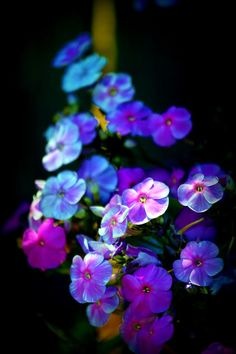 Phlox - such beautiful colors!
