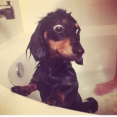 """121 Likes, 3 Comments - Dachshund & Wienerdog Inc. (@sausagedoglove) on Instagram: """"When I came with you I didn't know I was going to get wet?! Let me out of here!  Credits:…"""""""
