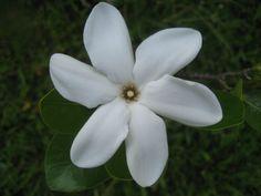 the tiare flower.