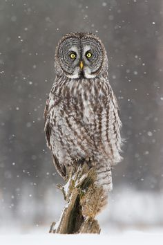 Sculpted Great Gray Owl by Daniel Cadieux
