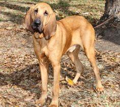 Bloodhound Puppy Dog