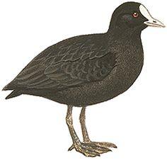 オオバン|日本の鳥百科|サントリーの愛鳥活動