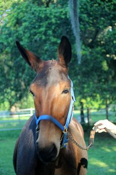 """Introducing Zeke, our new addition at the barn!  Zeke, aka """"Zeke Moves Like Jagger"""", is a mule trained in dressage."""