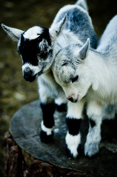 Goats are so cute and fun little animals! I've owned goats all my life, and they are certainly fun animals who can have hilarious moments. Cute Creatures, Beautiful Creatures, Animals Beautiful, Beautiful Babies, Simply Beautiful, Cute Baby Animals, Funny Animals, Baby Goats, Mini Goats