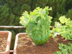 Cultivos para el verano: espinaca y escarola Herbs, Garden, Green