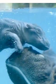 Baby Hippo And Mom Swim Adorably At San Diego Zoo