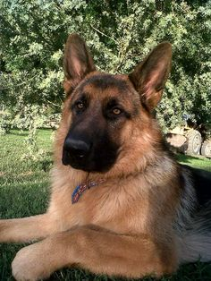 """Discover more details on """"german shepherd puppies"""". Look at our web site. Big Dogs, I Love Dogs, Cute Dogs, Dogs And Puppies, Beautiful Dogs, Animals Beautiful, Malinois, German Shepherd Puppies, German Shepherds"""