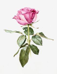Watercolor Rose, Watercolor Cards, Botanical Flowers, Botanical Prints, Flower Images, Flower Art, Ikebana Flower Arrangement, Flower Silhouette, Gouache