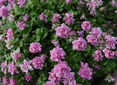 "Erodium Flore Pleno Double Alpine Geranium - Tiny, light green mounding perennial that forms lovely little rosettes in your garden. Excellent little accent plant that puts on quite a show along a border, around other perennials or in a window box. Cute, double pink flowers adorn the top in late spring. Use in containers to add a dash of color or plant over flower bulbs to really create a ""wow"" effect in your landscape."