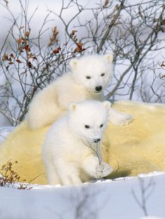 Polar Bear Cubs on Mother