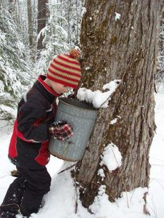 NH Maple Experience: Maple sugaring step one: ID your Tree. Indian Head is featuring Maple Sugar Weekends that feature a visit to the Rocks.