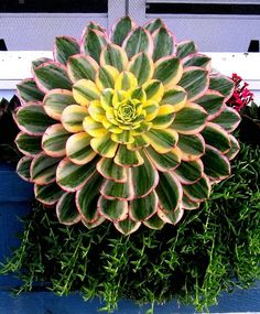 Beautiful aeonium