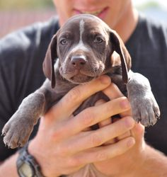 German Shorthaired Pointer Pup ~ Classic Look ~ 6 weeks ~ Strong Point Kennels.