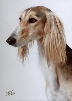 ANKC Approved Saluki Breed Expansion