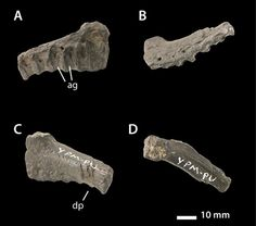 A scrap of bone found in North Carolina reveals that ceratopsids (horned dinosaurs) once roamed the eastern USA. Various views, dorsal, lateral,ventral etc.