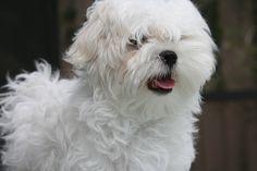 maltese dogs | Maltese_Dog_Wallpaper_7, Cute Wallpaper | Cute and Funny Animal ...