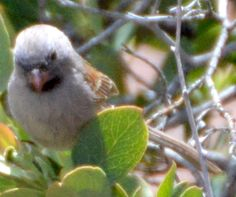 Black-chinned Sparrow - First ID'd 5/2/2015 in Sedona, AZ