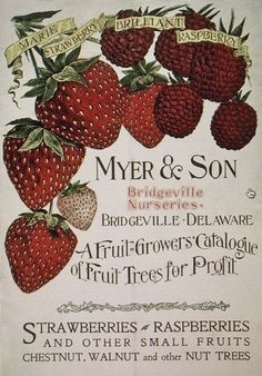 art, fine, typography, berries, strawberry,  //  Vintage Fruit Catalogue