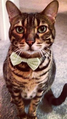 Bow ties are cool. #bengal #cat #dapper