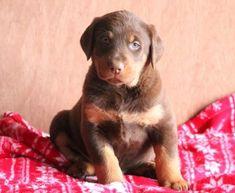 Spike   Doberman Pinscher Mix, Lab Mix Puppy For Sale   Keystone Puppies Doberman Puppy Red, Red Doberman Pinscher, Doberman Puppies For Sale, Lab Mix Puppies, Poodle Puppies For Sale, Cairn Terrier Mix, Terrier Puppies, Bernese Mountain Dog Mix, Cocker Spaniel Mix