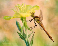 Dragonfly by edi. @go4fotos