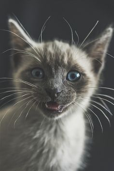 Kitty Cats ~  Tommy (Luis Borges Alves)       (Luis Borges Alves) | ikwt