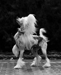 Photograph taken by Lisa Croft Elliot. Chinese Crested