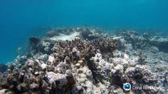 No mais grave caso de branqueamento de sua história, muitos corais da Grande Barreira na Austrália estão morrendo por doenças ou pela ação de predadores. Segundo cientistas, a massa de corais vivos que cobrem o recife caiu de 40% em março para 5%.