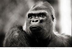 © Sébastien Meys Portrait de gorille