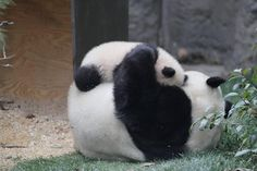 Find images and videos about cute, animal and panda on We Heart It - the app to get lost in what you love. Panda Hug, Baby Panda Bears, Panda Love, Cute Panda, Baby Pandas, Animals And Pets, Baby Animals, Animal Pictures, Cute Pictures