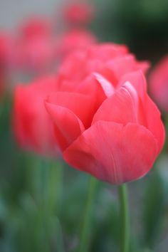 Tulipa! =)