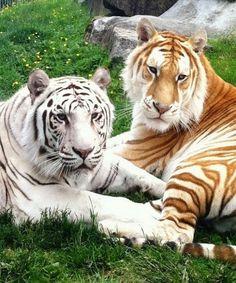 A beleza única do tigre dourado Vejam e se encantem com a beleza rara da coloração do Tigre Dourado.