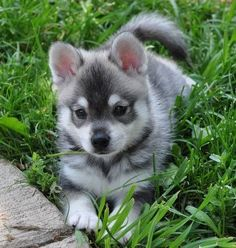 Adorable little Alaskan Klee Kai puppy relaxing on the grass.